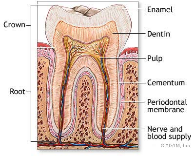 Tooth with Nerves